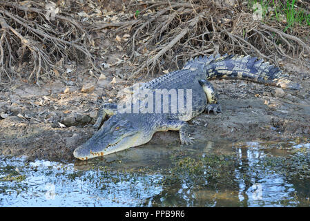 Large salt water crocodile resting on the banks of the Yellow Water Billabong,Kakadu, Northern Territory, Top End, Australia - Stock Photo