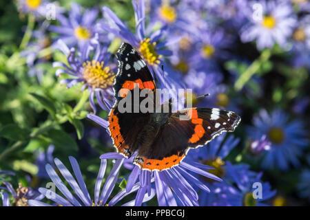 Close up of a Red Admiral butterfly feeding on the nectar of purple Michaelmas Daisy flowers in a park in Lancashire, England, UK in late summer. - Stock Photo