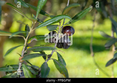 Close up of Sicilian olives on an olive tree near Castellamare del Golfo, Sicily - Stock Photo