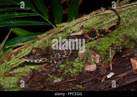 A baby Dwarf Crocodile (Osteolaemus tetraspis) on a mossy log in Atewa Range Forest Reserve, Ghana, West Africa - Stock Photo