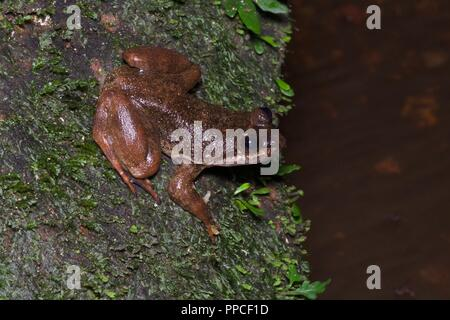 A critically endangered relative of the Togo Slippery Frog (Conraua cf. derooi) at streamside in Atewa Range Forest Reserve, Ghana, West Africa - Stock Photo