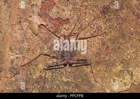 A tailless whip scorpion (Damon medius) on a tree trunk at night in Bobiri Forest Reserve, Ghana, West Africa - Stock Photo