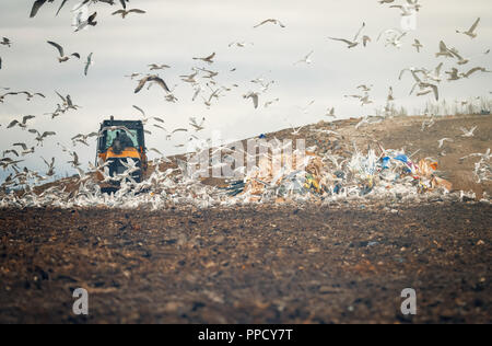 lot of many sea gulls  in city garbage dump search and catching food after special tractor working - Stock Photo