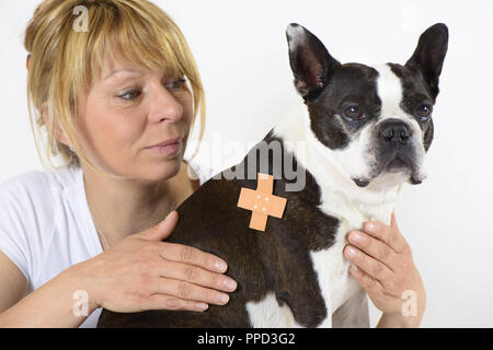 Boston Terrier with patch getting treatment at the veterinarian. - Stock Photo