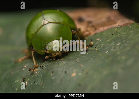 An unidentified species of leaf beetle from the Peruvian Amazon rainforest. - Stock Photo