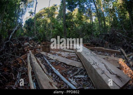 A logging site in Madre de Dios, Peru. Illegal logging is a huge threat to the Amazon rainforest.  Here a mature hardwood tree has been felled. - Stock Photo