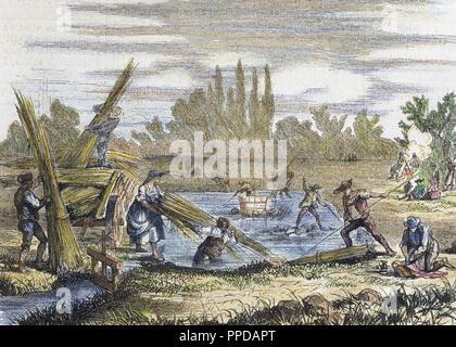 Hemp harvest. Banks of the Rhine. Engraving. 'L'Illustration Journal Universel' (1860). 19th century.