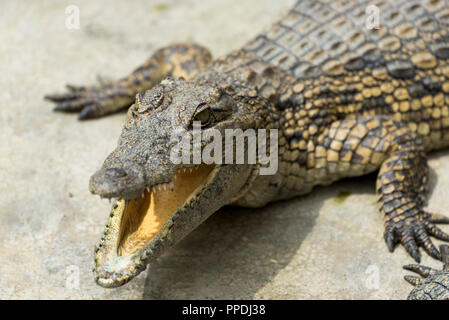 Young Crocodile with jaws open in water in Crocodile Park, Uganda - Stock Photo