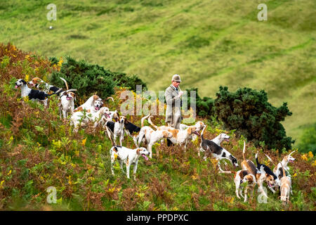 Hawick, Scottish Borders, UK. 10th September 2018. Tim Allen, huntsman of the Duke of Buccleuch Hunt, gathers up his hounds after drawing a bank of br - Stock Photo