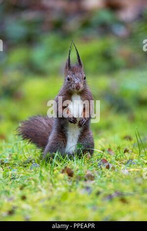 Eurasian Red Squirrel (Sciurus vulgaris) standing in grassland, Berlin, Germany | usage worldwide - Stock Photo