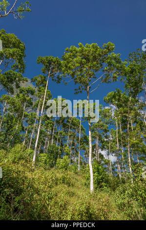 Trees, Costa Rica - Stock Photo