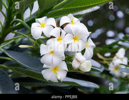 Closeup of Beautiful White and Yellow Frangipani Flowers on a Tree in Raffles Square Singapore Asia - Stock Photo