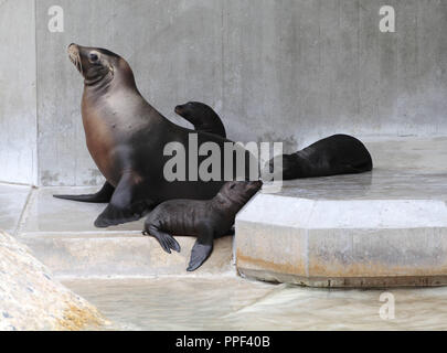 Three California sea lion babies in the Hellabrunn Zoo in Munich. - Stock Photo
