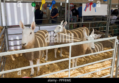 Close up of Border Leicester sheep in a pen at Great Yorkshire Show in summer Harrogate North Yorkshire England UK United Kingdom GB Great Britain Stock Photo