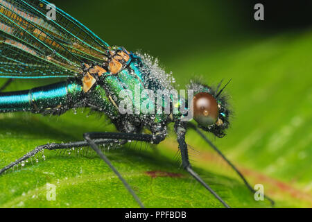 Male Banded demoiselle damselfly (Calopteryx splendens) covered in morning dew on plant leaf. Tipperary, Ireland - Stock Photo