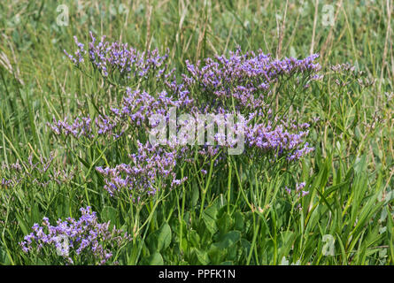 Blooming common sea lavender (Limonium vulgare), salt meadow in the intertidal zone at the North Sea coast, Schleswig-Holstein - Stock Photo