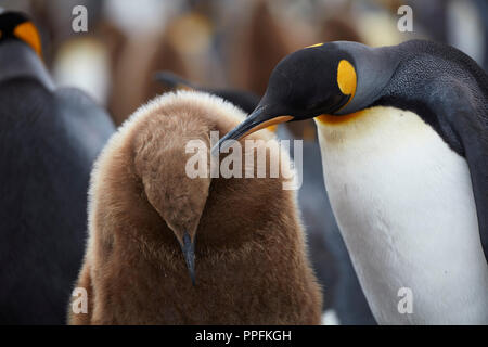 King penguin (Aptenodytes patagonicus), preening young bird in brown down dress, Fortuna Bay, South Georgia, United Kingdom - Stock Photo