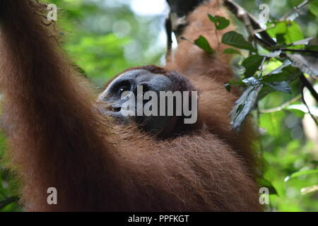Sumatran Orangutan Indonesia - Stock Photo