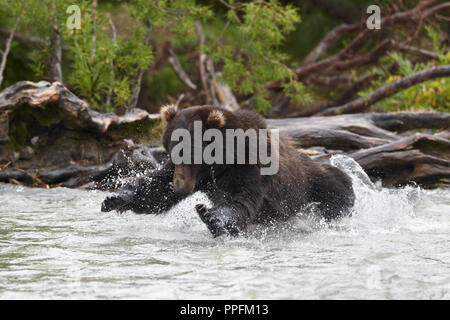 Kamchatka brown bear (Ursus arctos beringianus), in the jump for salmon fishing in the Hakytsin River - Stock Photo