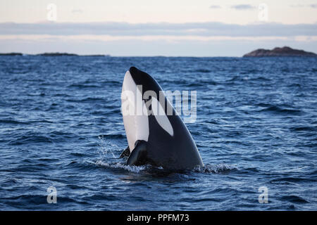 Orca (Orcinus orca) spy hopping by holding the head out of the water, Vengsøy Fjord, Vengsoy, near Tromsø, Tromso, Norway - Stock Photo