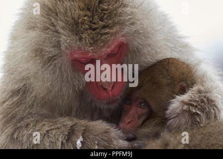 Japanese macaque (Macaca fuscata), mother animal suckles and warms her cub, Jigokudani monkey park, Nagano district - Stock Photo