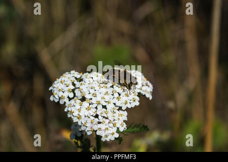Close up of a British hoverfly in the sunlight of a woodland meadow in summer on a white Yarrow flower head, Lancashire, England, UK. - Stock Photo