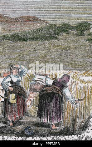 Harvesting of wheat. 19th century. Colored engraving. - Stock Photo