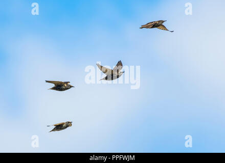Small flock of Common Starlings (Sturnus vulgaris) flying in the sky in Auturmn in West Sussex, England, UK. - Stock Photo