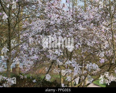 Early spring in the garden. The delightful star like pink and scented flowers of the deciduous Magnolia Stellata Jane Platt flowering in early spring. - Stock Photo