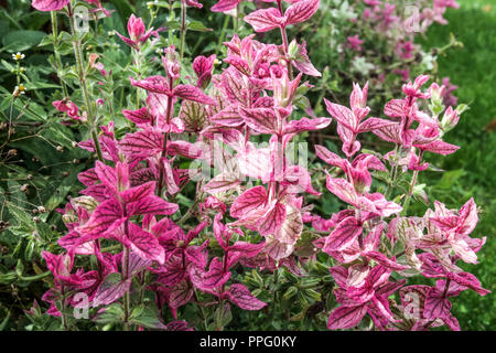 Clary Sage, Salvia viridis 'Marble Arch Rose in late summer flowerbed - Stock Photo