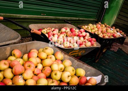 Three wheelbarrows full of English Cox eating Apples - Stock Photo
