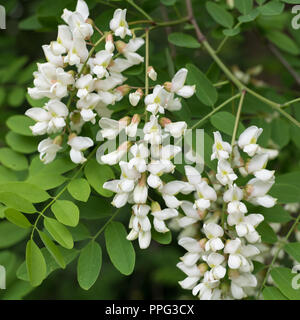 Closeup of white blossoms of a black locust and green leaves in spring - Stock Photo