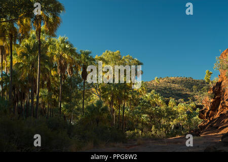 Livistona mariae, Red cabbage palm, Palm Valley, Namatjira, Wes MacDonnell Range, Northern Territory, Australien - Stock Photo