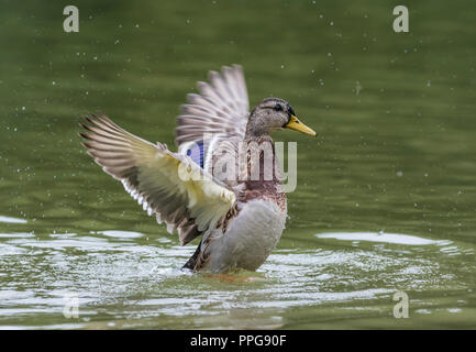 Hen (female) Mallard Duck (Anas platyrhynchos) on water flapping wings, with wings out stretched back and up in Summer in West Sussex, UK. - Stock Photo