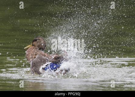Hen (female) Mallard Duck (Anas platyrhynchos) splashing in water in Summer in West Sussex, UK. - Stock Photo