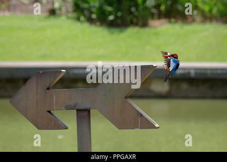 White-Throated Kingfisher about to land after a dive to catch fish - Stock Photo