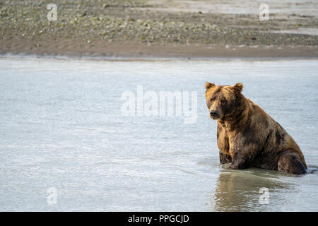 Alaskan coastal brown grizzly bear sits in water as he fishes for salmon in Katmai National Park - Stock Photo