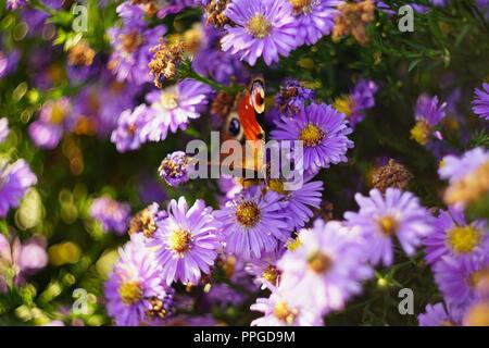 butterfly on purple flower - Stock Photo