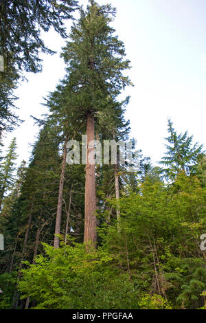 A towering old growth Douglas-fir tree, Pseudotsuga menziesii, in a temperate rain forest in the Pacific Northwest. - Stock Photo