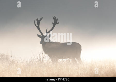Richmond Park, United Kingdom. 26th September 2018. UK Weather:  Red deer stags bellow during a bright, cold morning in Richmond Park at the beginning of the rutting season. Credit: Andrew Plummer/Alamy Live News - Stock Photo