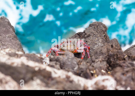 View down to crab species Grapsus adscensionis at rock cliff, Tenerife, Canary Islands (copy space) - Stock Photo