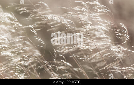 Wild grasses blowing in the Autumn breeze with diminished seed heads.  Yorkshire Fog Grass, Holcus lanatus.  Calm, serene abstract.  Horizontal. - Stock Photo
