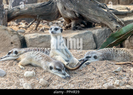 A family of Meerkat also known as Suricate (Suricata suricatta) relax on the sand. - Stock Photo