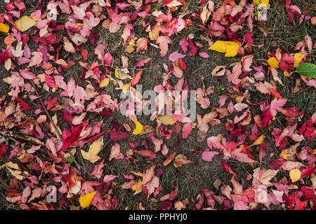 Autumn leaves Burgundy on the ground in the Park.. Colorful background made of fallen autumn leaves. - Stock Photo