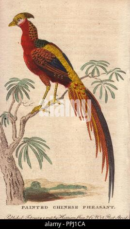 Painted Chinese Pheasant, Golden Pheasant or Chinese Pheasant . . Chrysolophus pictus (Phasianus pictus). . 'It is a well ascertained fact, that one [female pheasant] belonging to Lady Essex changed, in the space of six years, her mean dusky colour into the rich lustre of the male.'. . Handcoloured copperplate engraving from 'The Naturalist's Pocket Magazine; or, Complete Cabinet of the Curiosities and Beauties of Nature' (17981802) published by Harrison, London. - Stock Photo