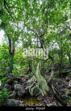 Arbol Tescalama **** Reserva Monte Mojino (ReMM) de la Natural Culture International (NCI)  Credito:LuisGutierrez - Stock Photo