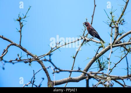 Brown-crested Flycatcher  Copeton Tirano . anida en los huecos de los troncos.  **** Reserva Monte Mojino (ReMM) de la Natural Culture International ( - Stock Photo