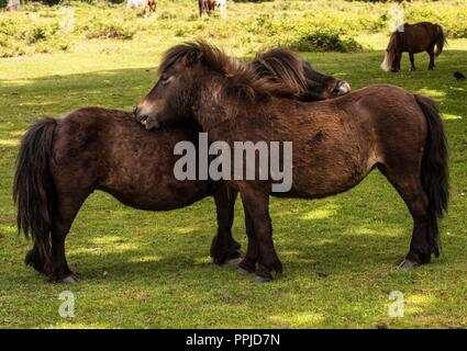 Shetland ponies, new forest - Stock Photo