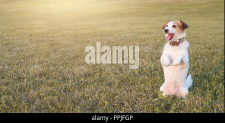 BANNER OF A PORTRAIT OF A JACK RUSSELL DOG   STANDING ON TWO LEGS INTHE GRASS THAT LOOKS TOWARDS THE SUN IN AUTUMN - Stock Photo