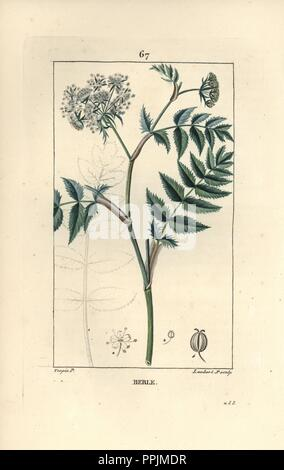 Cutleaf water parsnip, Berula erecta. Handcoloured stipple copperplate engraving by Lambert Junior from a drawing by Pierre Jean-Francois Turpin from Chaumeton, Poiret et Chamberet's 'La Flore Medicale,' Paris, Panckoucke, 1830. Turpin (17751840) was one of the three giants of French botanical art of the era alongside Pierre Joseph Redoute and Pancrace Bessa. - Stock Photo